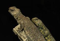 Les paires d'iguanes de désert étaient perché au bord d'une astuce rocheuse Images libres de droits