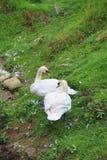 Les paires de beaux cygnes blancs sur l'herbe verte Images libres de droits