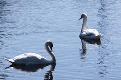 Les paires de cygnes muets blancs sur l'eau bleue apprêtent Image stock