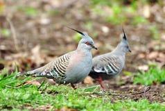 Les paires de deux beaux oiseaux crêtés australiens de pigeons font du jardinage Photos stock