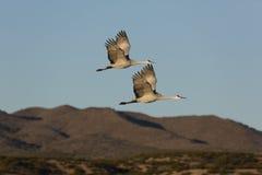 Les paires de grues sauvages de sandhill volent contre des montagnes du Nouveau Mexique Photographie stock