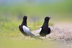 Les paires de joindre les oiseaux noirs Blanc-à ailes de sterne sur les marécages herbeux assaisonnent au printemps Images stock