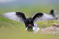 Les paires de joindre les oiseaux noirs Blanc-à ailes de sterne sur les marécages herbeux assaisonnent au printemps Image libre de droits