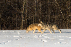 Les paires de lupus de Grey Wolves Canis se déplacent à gauche à travers le champ Photographie stock
