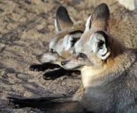 Les paires de renards aux grandes oreilles se reposant dans le coucher du soleil s'allument Photo stock