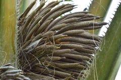 Les palmiers d'huile sont fleurissants Images stock