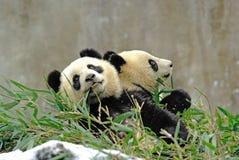 Les pandas de bébé mangent le bambou dans le bifengxia Photographie stock libre de droits
