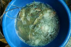 Les paniers contenant le crabe frais ont attrapé par des pêcheurs, en vente photos libres de droits