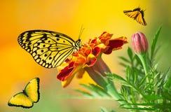 Les papillons colorés sont volants et se reposants sur la fleur mexicaine de souci Photos libres de droits