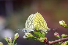 les papillons dans le blanc et le jaune se reposent ensemble sur une branche se développante Image libre de droits