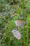 Les papillons de accouplement Photo libre de droits