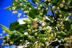 Les papillons de monarque effectuent les migrations annuelles à travers l'Amérique qui se sont appelées une du phénomène naturel  image libre de droits