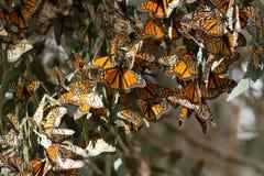 Les papillons de monarque ont recueilli sur une branche d'arbre pendant l'automne Image libre de droits