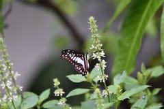 Les papillons noirs et blancs volent et sont perché sur des fleurs photos libres de droits