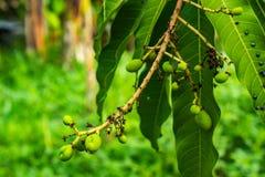 Les parasites mangent des feuilles de mangue Image stock