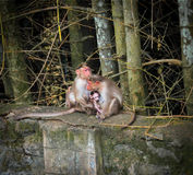 Les parents de singes embrassent doucement l'enfant Photo stock