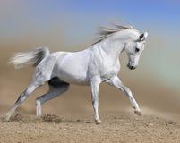 Les passages d'étalon de cheval blanc galopent dans le désert de la poussière