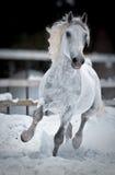 Les passages de cheval blanc galopent en hiver Photographie stock libre de droits