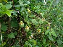 Les passiflores comestibles de passiflore ont trouvé dans la jungle de la région de montagne de l'Himalaya photo libre de droits