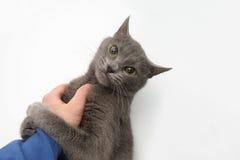 Les pattes grises de chat ont saisi la main du ` s de personne photographie stock