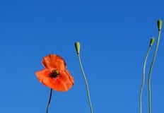 Les pavots de champ rouges se développent dans l'herbe verte, matin Images libres de droits