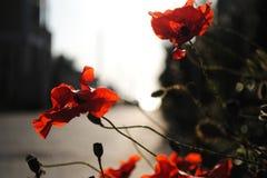 Les pavots rouges fleurissent près de la route, fleurs d'été Photos stock