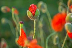 Les pavots rouges fleurit l'émergence des bourgeons sur le fond defocused vert Images stock