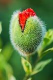 Les pavots rouges fleurit l'émergence des bourgeons sur le fond defocused vert Image stock