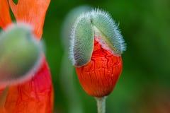 Les pavots rouges fleurit l'émergence des bourgeons sur le fond defocused vert Photographie stock libre de droits