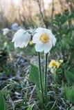 Les perce-neige de fleurs Images libres de droits