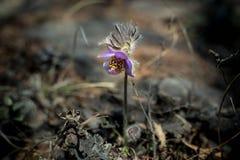 Les perce-neige vulgaris ou sibériens de Pulsatilla, le premier ressort fleurit Macro image avec la petite profondeur du champ Images libres de droits