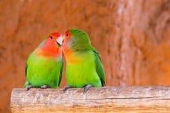 Les perroquets couplent sur une branche image libre de droits