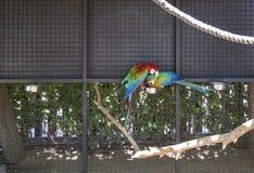 Les perroquets d'arums ?taient perch? le poteau en bois photo libre de droits