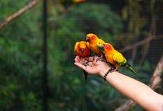 Les perroquets de conure de Sun mangent de la nourriture sur la main humaine photos libres de droits