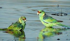 Les perroquets de Ringneck ont un bain photos stock