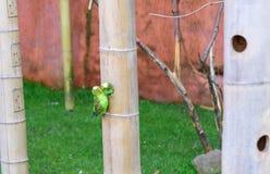Les perroquets embrassent Elle est dans la maison Amour d'oiseau Photographie stock libre de droits