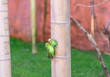 Les perroquets embrassent Elle est dans la maison Amour d'oiseau closeup Images libres de droits