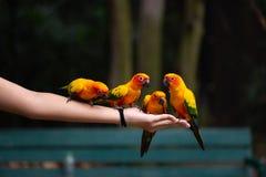 Les perroquets mangent de la nourriture sur la main humaine photos libres de droits