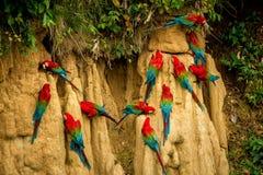 Les perroquets rouges sur l'argile lèchent manger l'ara de minerais, rouge et vert dans la forêt tropicale, Brésil, scène de faun images libres de droits