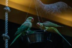 Les perroquets se reposent sur la cuvette photographie stock libre de droits