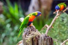 Les perroquets se reposent sur le tronçon photo libre de droits