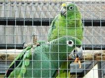 Les perroquets sont des perruches Images libres de droits