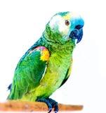 Les perroquets vert clair se reposant sur le b?ton en bois ont isol? photos stock