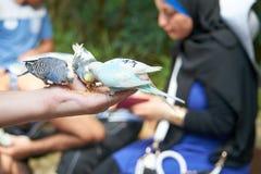 Les perruches mangent avec vos mains Photos libres de droits