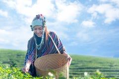 Les personnes d'agriculteur forment la nature asiatique indienne de feuille de thé de fonctionnement et de cueillette de femme photos libres de droits