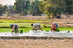 Les personnes locales en riz mettent en place en Don Kong, 4000 îles, Laos Photos stock
