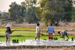 Les personnes locales en riz mettent en place en Don Kong, 4000 îles, Laos Photographie stock