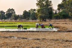 Les personnes locales en riz mettent en place en Don Kong, 4000 îles, Laos Image stock