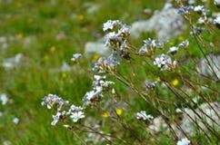 Les petites fleurs blanches du champ Photo libre de droits