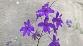 Les petites fleurs pourpres se développent dans la cour banque de vidéos